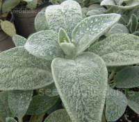 Lambs' ears is a well-known ground-covering perennial, popular for its soft, fluffy foliage.