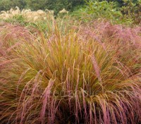 From midsummer it produces airy panicles of purple-green flowers that that almost touch the ground.