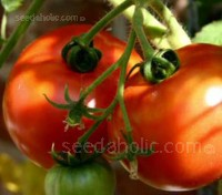 Tomato 'St Pierre produce good quality, full flavoured fruits with the right balance of low-sweet and low-acid and a superior flavour.