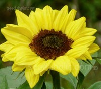 Helianthus 'Ikarus' is a fairly new introduction, but one that has started to make huge waves in the industry.