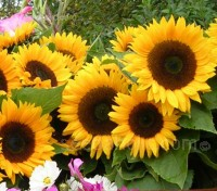 'Solara' has a dark centre, surrounded by a dense array of rich golden yellow petals
