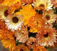 'Sunset Mix' is a dynamic blend of colours, they bloom in orange, apricot-buff, peach, cream, and yellow shades