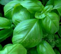 Sweet Basil is the basil most commonly grown.
