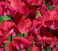 A highly scented heirloom sweet pea introduced by Henry Eckford in 1903. Deep Crimson with three flowers per stem.