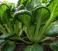 'F1 Kuro' is a traditional hybrid Pak Choi and Tatsoi cross, with the traditional advantages of Pak Choi and the Tatsoi's beautiful dark green, spoon-shaped leaves.