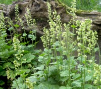 Tellima make excellent semi-evergreen groundcover, they thrive in moist shade between flowers in a border.