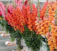 Antirrhinum majus 'Tetra Mix' produce tall, stately plants with ruffled blooms in a rich variety of colours.