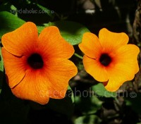 Thunbergia alata 'Black Eyed Susan' Mixed Colours