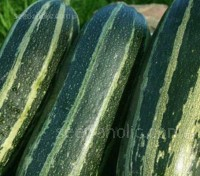 Marrow 'F1 Tiger Cross' is an early maturing type producing tasty courgettes or can be allowed to mature to produce delicious marrows