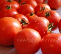 Moneymaker is an old English greenhouse variety, well known for reliably producing heavy crops, which have both uniformity of fruit and excellent colour.