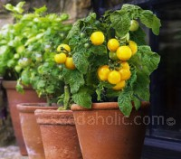 Tomato 'Little Sun' was bred for containers, the small yellow fruits have a full flavour and crop over a long harvest period.