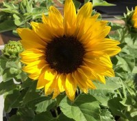 'Topolino' is a dwarf sunflower variety with classic golden-yellow flowers on short, well-branched plants.