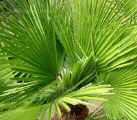 The handsome Chusan palm is a hardy evergreen palm with wonderful, fan-shaped, dark green leaves.