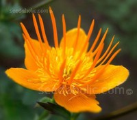 Trollius are clump-forming perennials that are suitable for full sun or part shade and require moist conditions