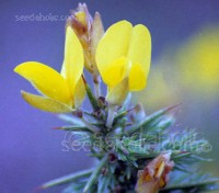 Gorse is a valuable plant for wildlife, in many areas it is one of the first plants to flower, so is an important source of pollen to the early emerging bees.