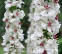 Verbascum nigrum var. album bloom profusely in late spring with masses of white flowers each with attractive violet filaments and accented by golden orange stamens.