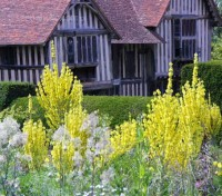 Verbascum olympicum at Great Dixter, Christopher Lloyd loved their statuesque flowerheads.