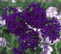 """Imagination' is noted for its profuse bloom of violet-blue flowers"