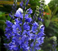Veronica teucrium is a tidy, mound-forming plant with long racemes of intense, vivid cobalt blue flowers.