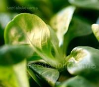 Corn Salad, Lambs Lettuce 'Verte de Cambrai'