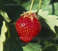"""Strawberry """"Alexandria"""" are much sweeter than their traditional commercial cousins and possess a fine, old fashioned flavour."""