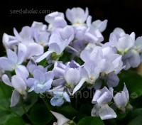 Viola odorata 'Reine de Neiges' is one of the longest flowering violets with scented flowers.