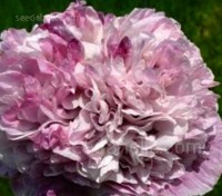 Papaver paeoniflorum 'Violet Blush'