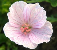 'Vision Light Pink' produces masses of large luminescent flowers from early spring through to late summer.