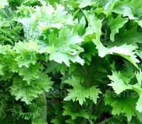 Mustard 'Wasabi-na' is a Japanese speciality green mustard bred for its wasabi like flavour.