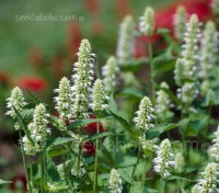 Agastache 'Liquorice White' has tall spikes of white lipped flowers