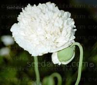 Papaver paeoniflorum 'White Cloud'
