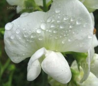 This perennial relative of the sweet pea is justifiably popular for its masses of pure white flowers which bloom over a long period throughout the summer month.