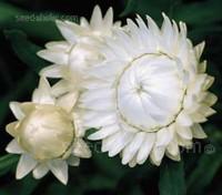 Helichrysum bracteatum 'White'