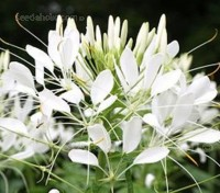 'White Queen' provide pure white flowers that are eye-catching and strongly-scented.