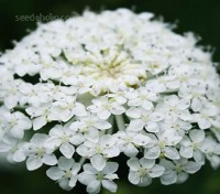 Each flower head is composed of tiny, star-shaped, sweetly fragrant flowers.