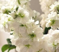 Matthiola 'Cinderella' is an extremely early and long flowering series that produces a high percentage of double flowers.