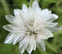 "Xeranthemum ""Lumina Double"" is one of the prettiest of everlasting flowers."