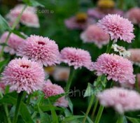 The 'Zinderella' series is a breakthrough in scabiosa-flowered Zinnia breeding.