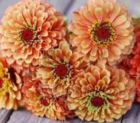 Zinnia elegans 'Queen Lime Orange'
