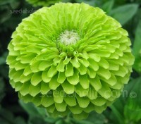 Zinnia elegans 'Envy' feature large 10 to 12cm (4 to 5in) lime-green blooms.