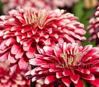 Zinnia elegans 'Mazurkia' is early to flower with improved doubleness over similar types.