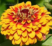 Zinnia elegans 'Macarenia' is early to flower with improved doubleness over similar types.