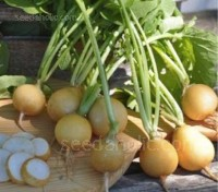 Radish 'Zlata', meaning Gold, produces plum shaped  roots with a skin that is golden yellow,